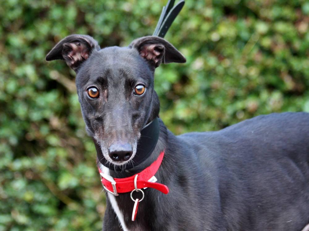 Ava the greyhound