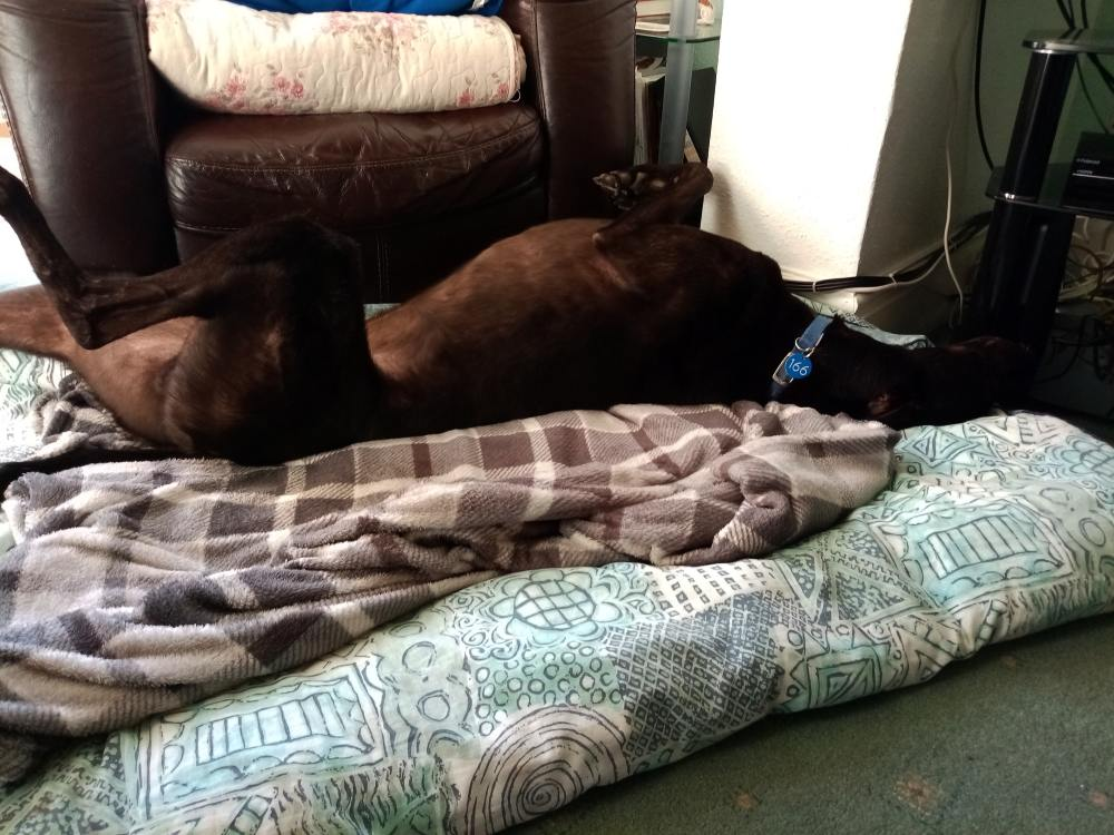 Bandy the greyhound