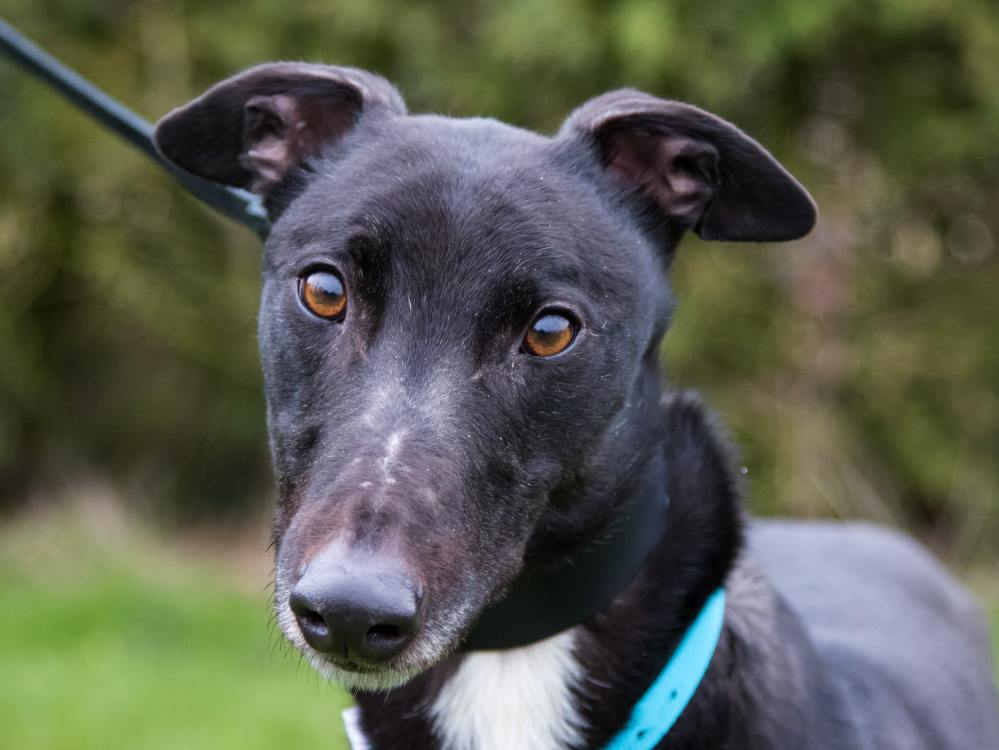 Frankie the greyhound looking for a home with Greyhound Trust Hall Green