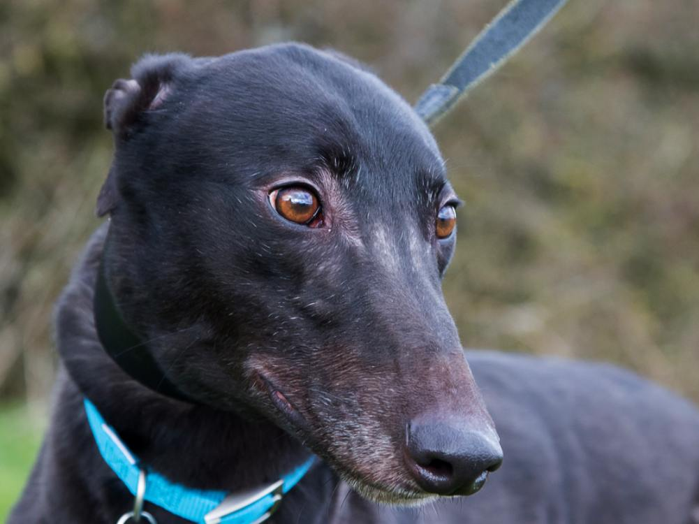 Posh the greyhound looking for a home with Greyhound Trust Hall Green
