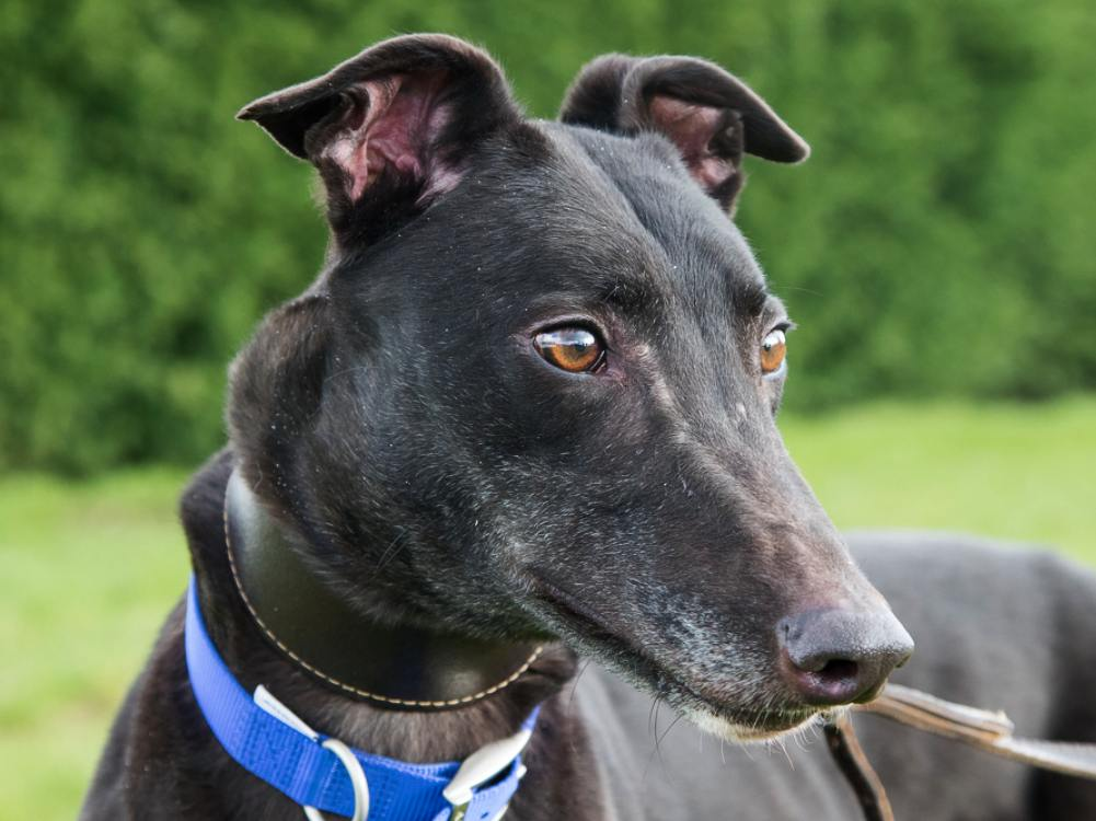 Ted the greyhound