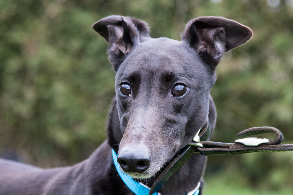 Blackie the greyhound