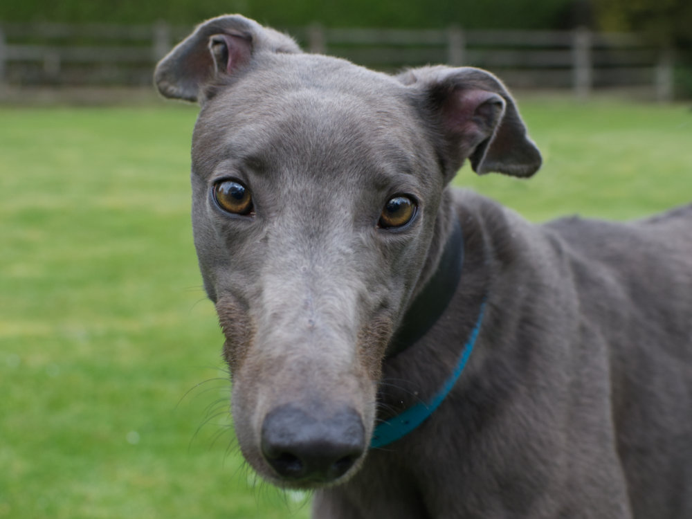 Morry the greyhound