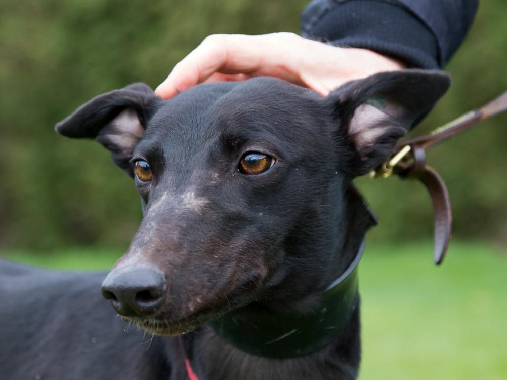 Shawty the greyhound looking for a home with Greyhound Trust Hall Green