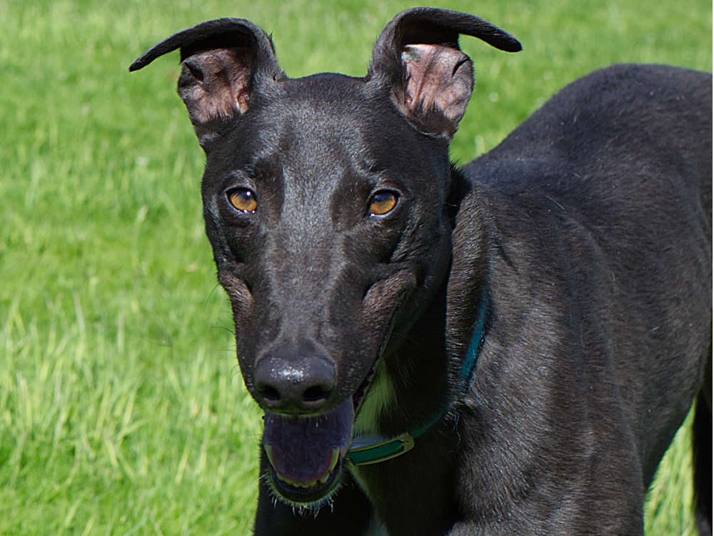 Luther the greyhound