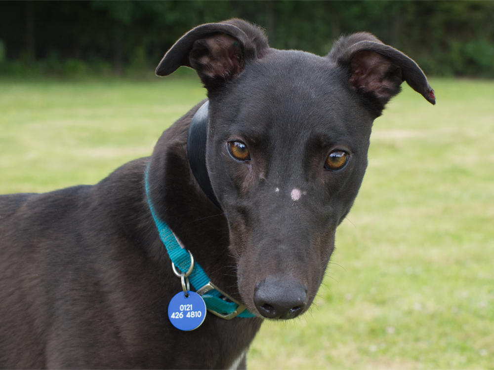 Marco the greyhound
