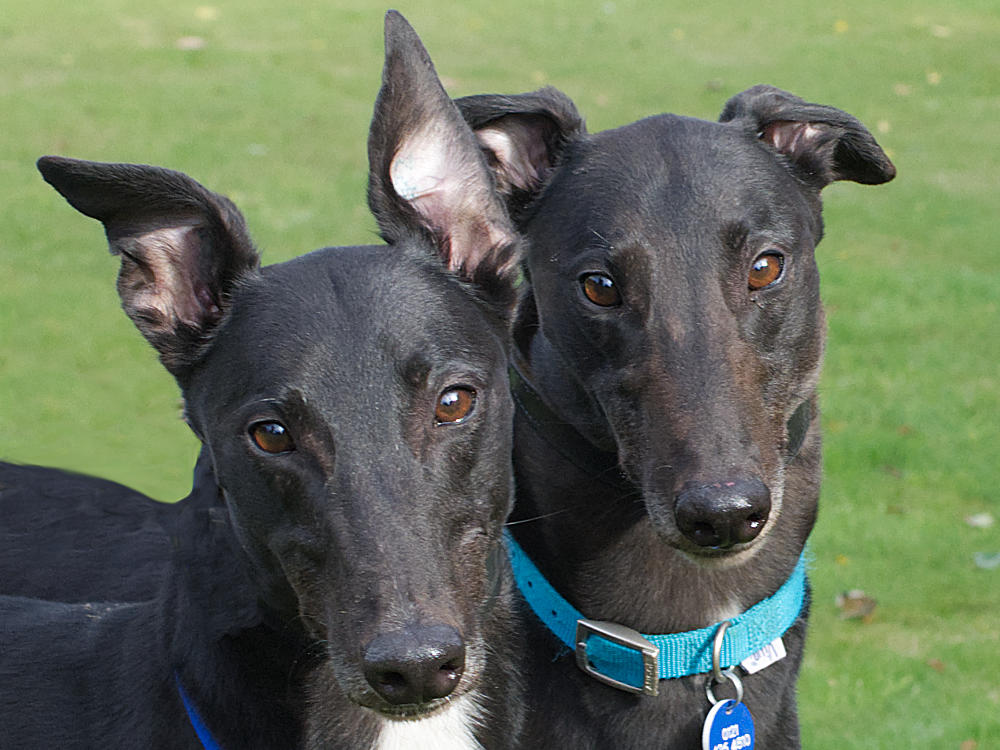 for a home with Greyhound Trust Hall GreenBryn the greyhound looking